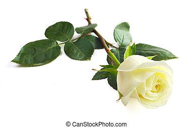 White rose - One white rose isolated on white background...
