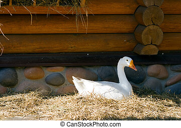 Domestic Goose - white domestic goose lying on the grass...