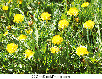 Yellow dandelions in spring day