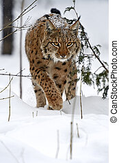 Winter Lynx - Wild Lynx in the winter forest