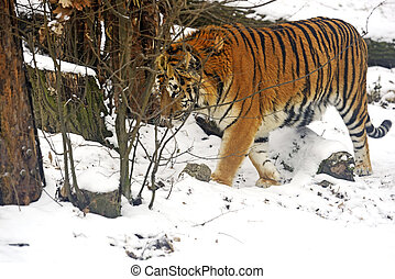 Tiger - Amur Tiger in the woods in winter