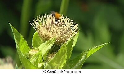 Cabbage thistle, Cirsium oleraceum bees. The young stems are...