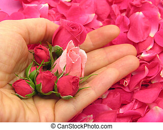 Pink rose buds in an open hand on background with petals