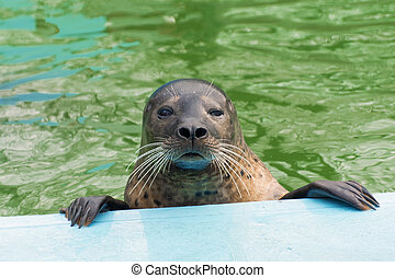 Harbor seal (Phoca vitulina) - Harbor or common seal (Phoca...