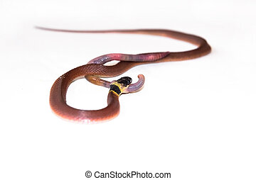 Redback coffee snake Ninia sebae is eating an earthworm