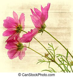 cosmea - a lovely pink cosmea in lateral view with texture