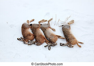 Four hares killed by hunter - Four hares in snow, killed by...