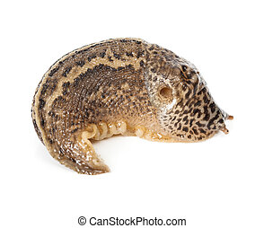 Contracted Limax maximus - leopard slug - Limax maximus -...