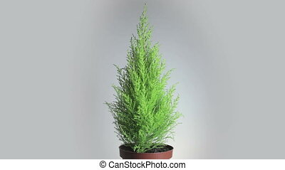 Thuja cupressus rotates 360 degrees Close up, seamless