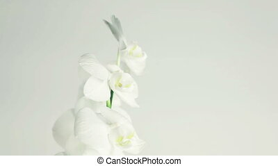 White orchid rotates 360 on white background with place for...