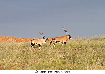 Oryx in the wildlife, Namibia - Some oryx are eating hidden...