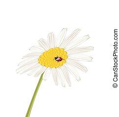 Closeup camomile flower with ladybug isolated on white background