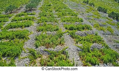 Primosten Vineyards flyover - Aerial view of old traditional...