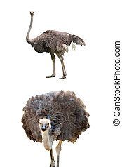 Ostriches isolated on white - A composition with ostriches...