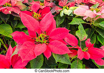 Poinsettia - Many Poinsettia in garden
