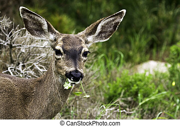 California mule deer Odocoileus hemionus californicus looks...