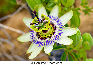 Passion flower in the garden