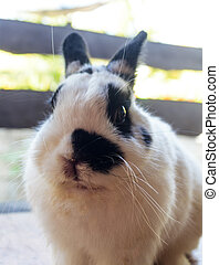 Netherland dwarf rabbit - View of rabbit. close-up...