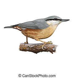Eurasian nuthatch - Digital illustration of a Eurasian...