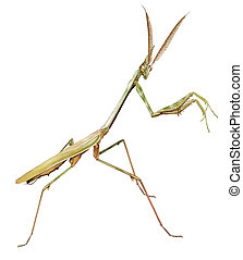 Conehead mantis - digital illustration of a male of conehead...