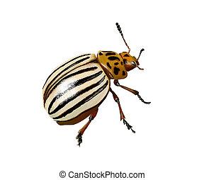 potato beetle - Digital illustration of a potato beetle...