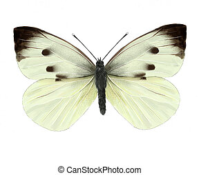 cabbage butterfly digital illustration, isolated