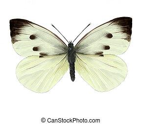 キャベツ, 蝶,
