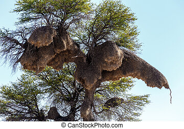 African sociable weaver big nest on tree, african landscape,...