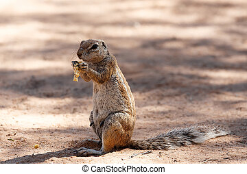 South African ground squirrel Xerus inauris,with tail eats...