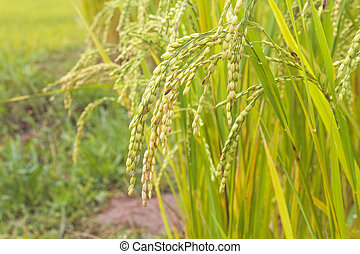 Rice in green paddy about ready to be harvested