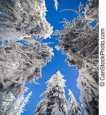 The tops of snow-covered fir-trees on the background of blue sky