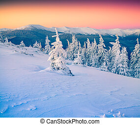 Frozen small fir tree in winter mountains at sunrise