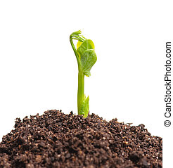 Young sprout of green peas on the organic soil over white...