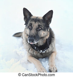 Dog Looking Attentively - Portrait of the shepherd dog lying...