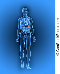 highlighted spleen - 3d rendered illustration of a human...