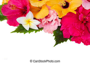 border of colorful hibiscus flowers - border of colorful...