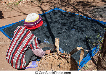 Drying coffee in Vietnam - An unidentified woman works in...