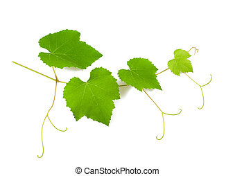 vine branch with  leaves isolated on white