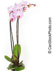 Phalaenopsis orchid potted isolated on white