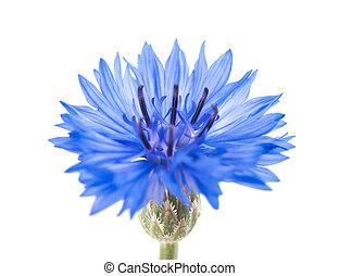 cornflower - Blue cornflower isolated on white background