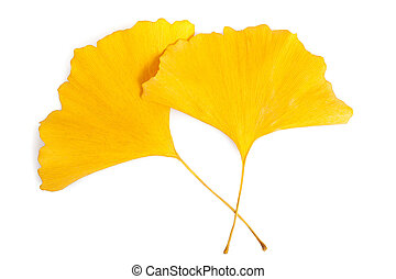 ginkgo leaf - ginkgo dried  leaf isolated on white