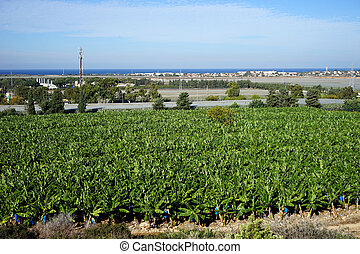 Banana plantation on the Mediterranean coast of Israel...