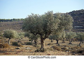 Olive trees grove near hill in Israel...