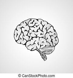 human brain - vectorised sketch of the human brain on gray...