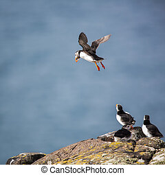 Puffins (Fratercula arctica), Isle of May, Scotland