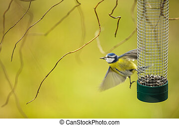 Tiny Blue tit flying away from a feeder in a garden after...