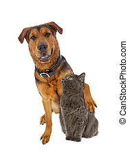 Large Mixed Breed Dog Arm Around Cat - A large mixed breed...