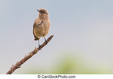 Familiar chat sitting on a branch with brown drab colours -...