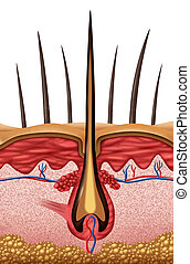 Hair Anatomy - Hair anatomy medical concept as a close up of...