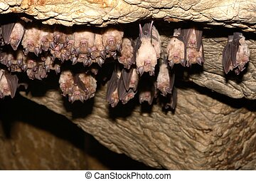 Group of Greater horseshoe bat (Rhinolophus ferrumequinum)